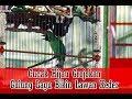 Bupati Cup Sleman - Cucak Hijau Grojokan Sewu, Tipikal Ngeroll Tampil Stabil Sepanjang Tahun 2018