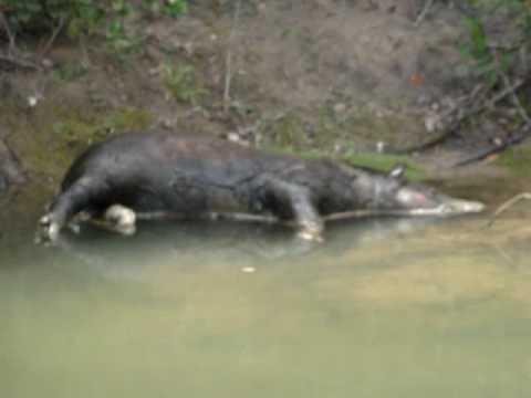 anta morta no rio verde