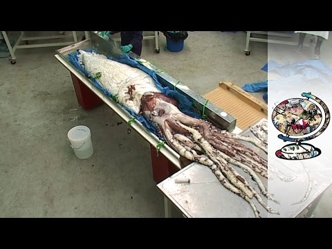 Finding and Filming the Elusive Giant Squid