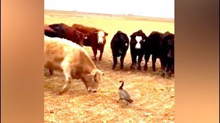 Ozzy Man Reviews: Goose vs Cows