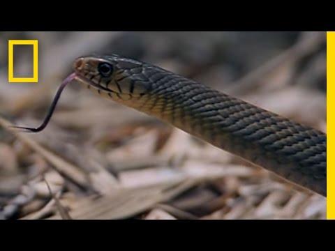 Cobra vs. Rat Snake | National Geographic