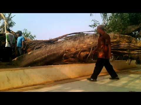 Pohon Beringin Roboh Batang