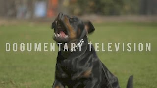 A ROTTWEILER BRED TO SERVE BORN TO PROTECT