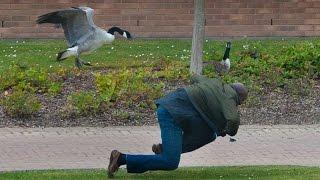 Goose Attacks Students at Warwick University