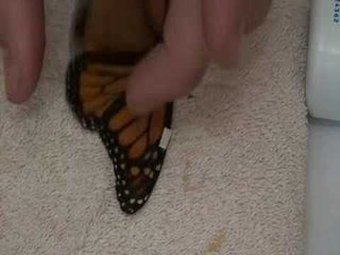 Xxx Mp4 Live Monarch Foundation How To Fix A Broken Butterfly Wing 3gp Sex