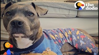 Anxious Pit Bull Dog Calms Down In Pajamas | The Dodo