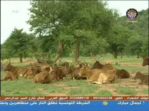 ياهو دة السودان تحسين سلات المواشى