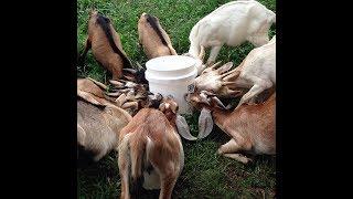 Feeding milk to Goat