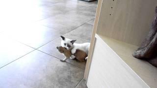 munchkin cat VS prairie dog