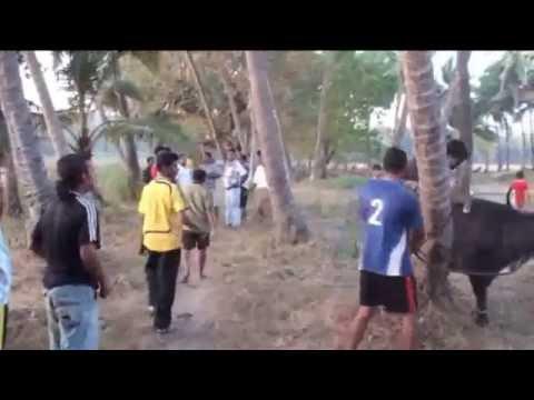 BULL FIGHTS In GOA 2011.flv