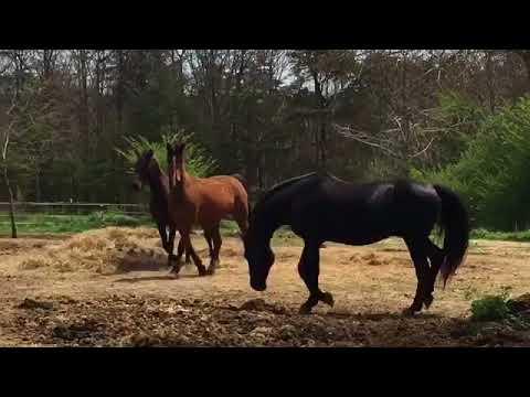 Xxx Mp4 Pasture Breeding Morgan Horses Educational 4 01 18 Easter Sunday 3gp Sex