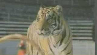 Double Team, The Biggest Tiger Stunts Ever Done In A Film