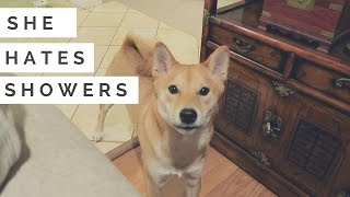 Shiba Inu Dog doesn't want to shower! | A Shiba Film