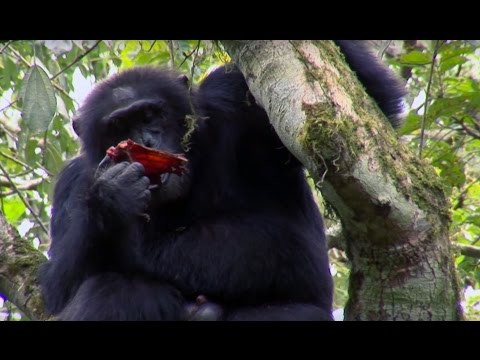 Chimpanzee Cannibalism Planet Earth BBC Earth