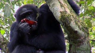 Chimpanzee Cannibalism | Planet Earth | BBC Earth