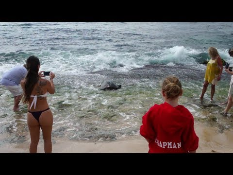 Xxx Mp4 Hawaiian Sea Turtles On The Beach In Oahu 39 S North Shore Area Part 2 3gp Sex