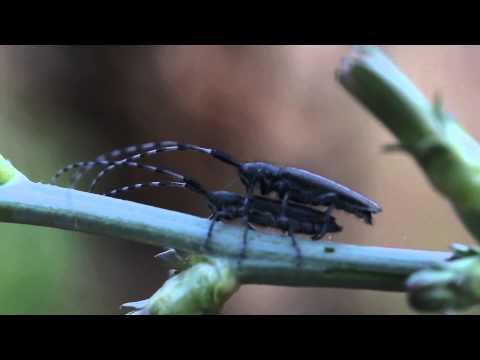 Xxx Mp4 XXX Longhorn Beetle HOT 3gp Sex