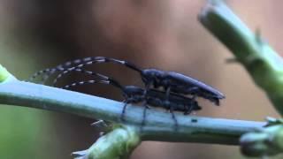XXX - Longhorn Beetle HOT