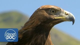 Download Golden Eagle | HD Documentary 3Gp Mp4