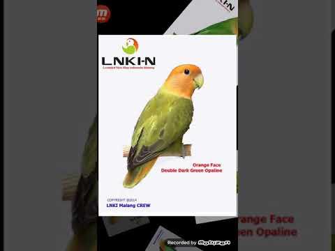 Download Roseicollis lovebirds Lovebird Muka Salem Lovebird Nonklep dari Grup LNKI Malang free