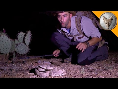 Xxx Mp4 The Most Venomous Rattlesnake In The World 3gp Sex