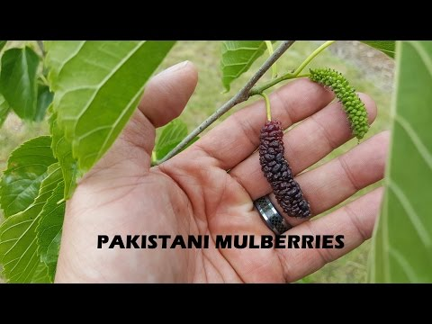 Pakistani Mulberry - Must have fruit have for any area