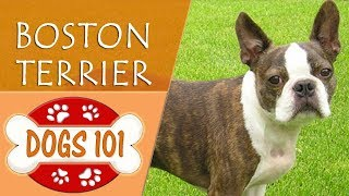 Dogs 101 - BOSTON TERRIER - Top Dog Facts About the BOSTON TERRIER