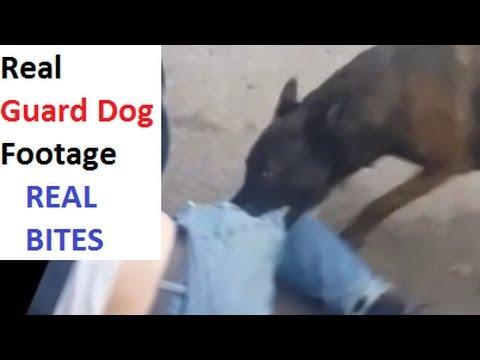 Real Guard Dog Attacks Bull Terrier Mastiff Malinois K9 1