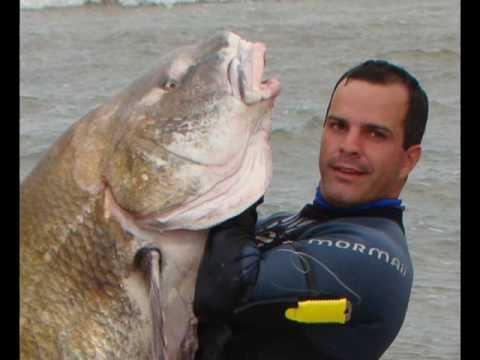Pesca Miraguaia Black Drum The Big Black Drum