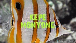Memelihara Kepe Monyong / Keeping Copperband Butterflyfish (Chelmon Rostratus)