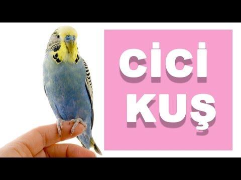 Dişi Cicikuş sesi | Muhabbet Kuşu Konuşturma Eğitimi