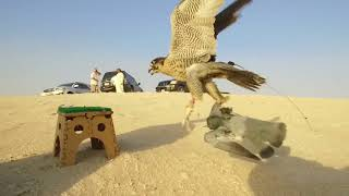 Falconry In Dubai 2017/2018