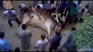 Big Sibbi Bull Qurbani EID UL AZHA 2016
