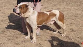 Bully Kuta Dog fight Pet or Murder