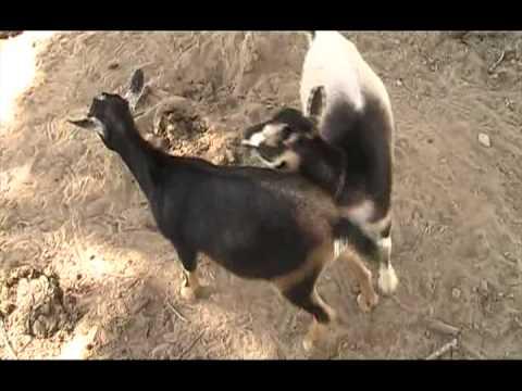 Goats Mating Mena Arkansas