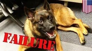 كلب بوليسي يتعرض للطرد من الشرطة بسبب أداءه الرديء