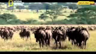 وثائقي   حيوانات قاتلة بلا رحمة HD