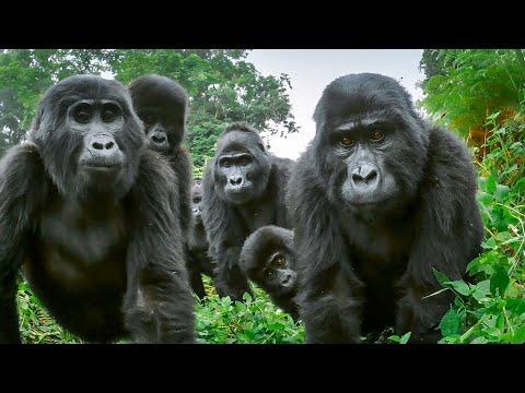 Spy Gorilla Comes Face To Face With Alpha Silverback BBC Earth
