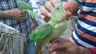 Raw Alexandrian parrot and Ringneck  Gender Difference | Only On PBI-(URDU/HINDI)