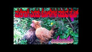 strong two hen's fight ,(&Two baby chicks) its amazing