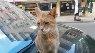 Otomobil üstende gezmekten hoşlanan sevimli kedi