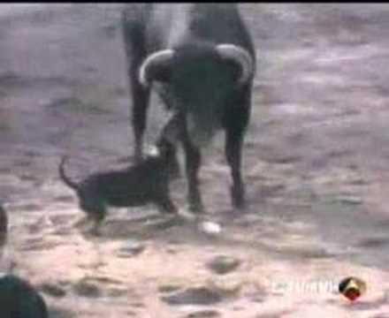 Impacto Tv Bull Terrier En Un Encierro