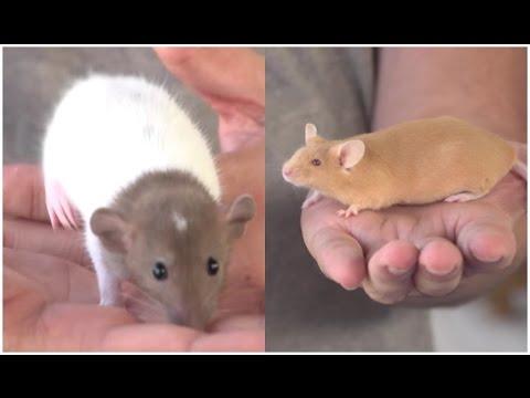 RATAS - Las diferencias entre rata y ratón. ¿Las conoces?