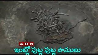 132 Baby Cobras Found In Home | Odisha | ABN Telugu