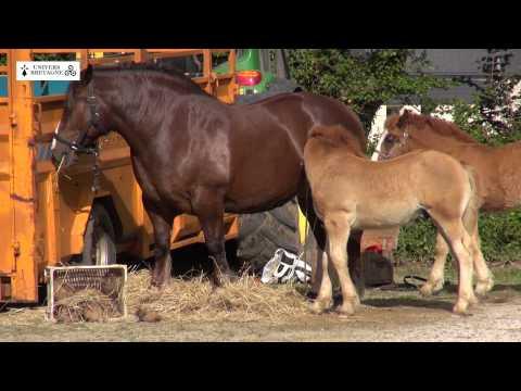 Concours du cheval breton à Ploudaniel le samedi 13 juin 2015