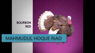 কোন জাতের টার্কি কিনবেন?    different types of turkey breeds