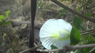 Clitoria ternatea - white.
