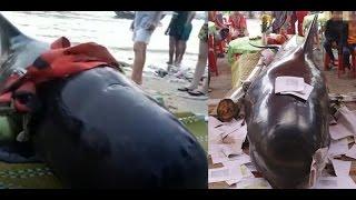 Cá voi Bà 800kg lụy vào bờ biển Quảng Ngãi