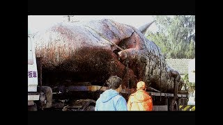 طلبوا سفينة خاص لنقله .. لن تصدق ماذا وجدوا بداخل بطن هذا الحوت العملاق!