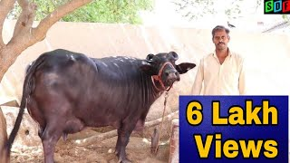 FOR SALE - 20 kg plus  Milk capacity MURRAH Buffalo in 150000 Rs. at a FARMER'S Home